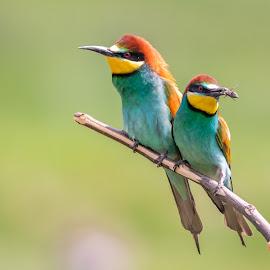 Lunch time by Andrej Kozelj - Animals Birds ( bee eater, european, bird, animal, animals, birds, wild, colorful, wildlife )