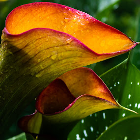 Calypso Calla Lilies after the rain by Ed Stines - Flowers Single Flower ( orange, calla, nature, calla lily, lily, nature up close, yellow, flower garden, flower )
