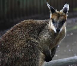 Photo: Year 2 Day 153 -  Gorgeous Wallaby
