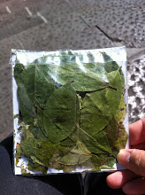 Photo: Chewing on coca leaves! Quito.