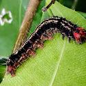 Tropical tiger moth caterpillar