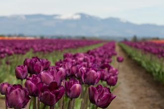 Photo: This is the first I'll share with you all on the trip yesterday that +Kate Church and I made to the Tulip Festival in Mt. Vernon, WA. It was so lovely. The day was pleasant with a peek of the sun only rarely but I was like a kid in a candy store, I just didn't know where to start and harder still is knowing which to upload here! Amazing, simply amazingly beautiful! It is another beautiful sunshiny day here so I won't be spending too much time editing until tonight! #breakfastclub  I think there is a #purplecircle too?