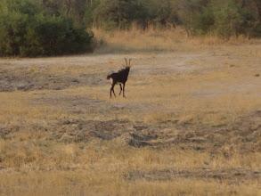 Photo: Sable antelope galloping away