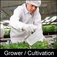 cannabis growing cultivation