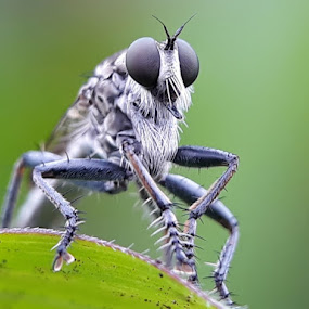 Robber flies by Oengkas Wijaya - Instagram & Mobile Android ( natural, macro photography, insect, makro, borneo,  )
