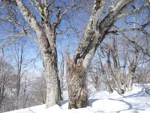 ブナの老木