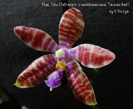 Photo: Phal. Telu (tetraspis x lueddemaniana 'Taiwan Red')