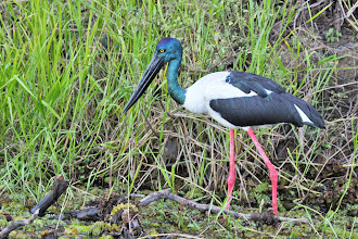 Photo: Black-necked Stork