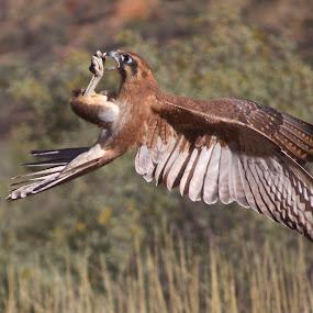 by Venetia Featherstone-Witty - Animals Birds ( falcon in flight, freedom, pwctaggedbirds, pwc76, falcon feeding in flight, brown falcon, emotion, bird in flight, bird, flight, inspiring, free, fly, australia, animals in motion, brown hawk, motion, inspire, bif, animal, inspirational )