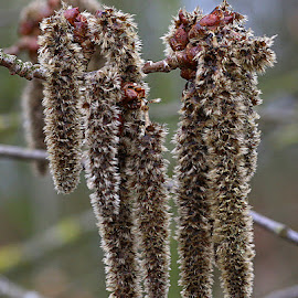 Cool Catkins by Chrissie Barrow - Nature Up Close Other Natural Objects ( nature, closeup, dangling, catkins, fluffy )