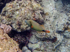 Photo: Balistapus undulatus (Orange-lined Triggerfish), Miniloc Island Resort reef, Palawan, Philippines.