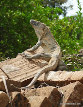 Photo: Green Iguana, Chacalilla