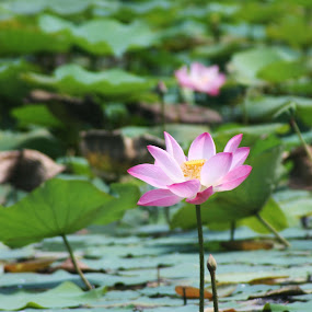 Lotus by Beng Lim - Nature Up Close Flowers - 2011-2013 ( homeopathic, water, flora, purity, ayurveda, alternative, water drop, pure, pwcflowergarden, lotus, perfection, drops, innocence, pink, medicine, water lily, herbal, holistic, garden, flower )