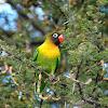 Inseparable cabecinegro (Yellow-collared lovebird)
