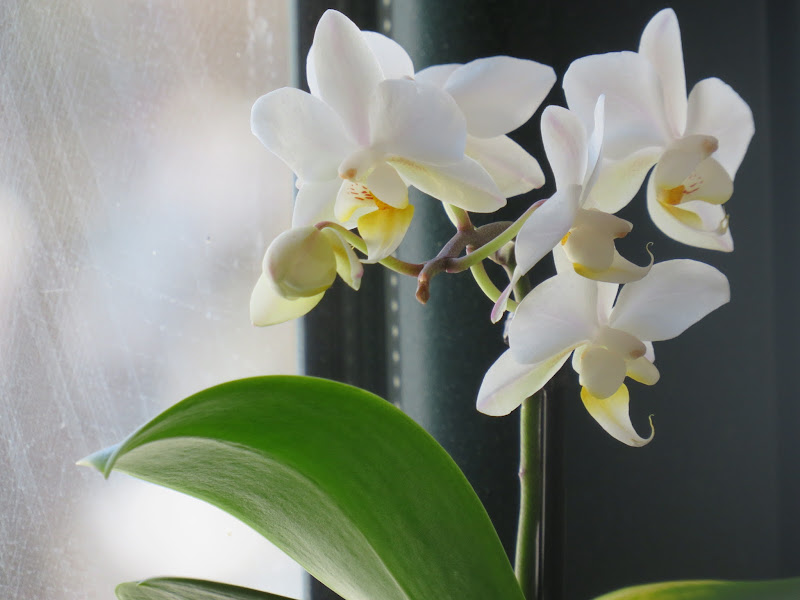 Orchidea di Ireneee