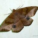 Dead Leaf Moth?