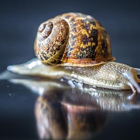 Snail by Jean-marc Payet - Animals Other ( water, carapace, escargot, mollusque, detail, reflection, a_divers, drop, antenna, animaux, photographie, nature et paysages, tentacule, mirror, macro, nature, eau, snail, détails, goutte )