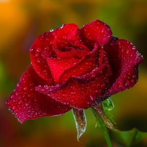 Re.Rose1.jpg