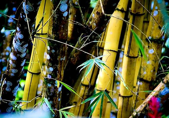 Bamboo di GDM