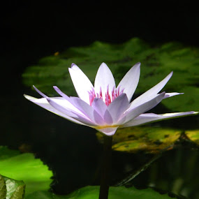 White Lily On Lake by Eden Anyabwile - Nature Up Close Flowers - 2011-2013 ( plant, lily, nature, white, flower )
