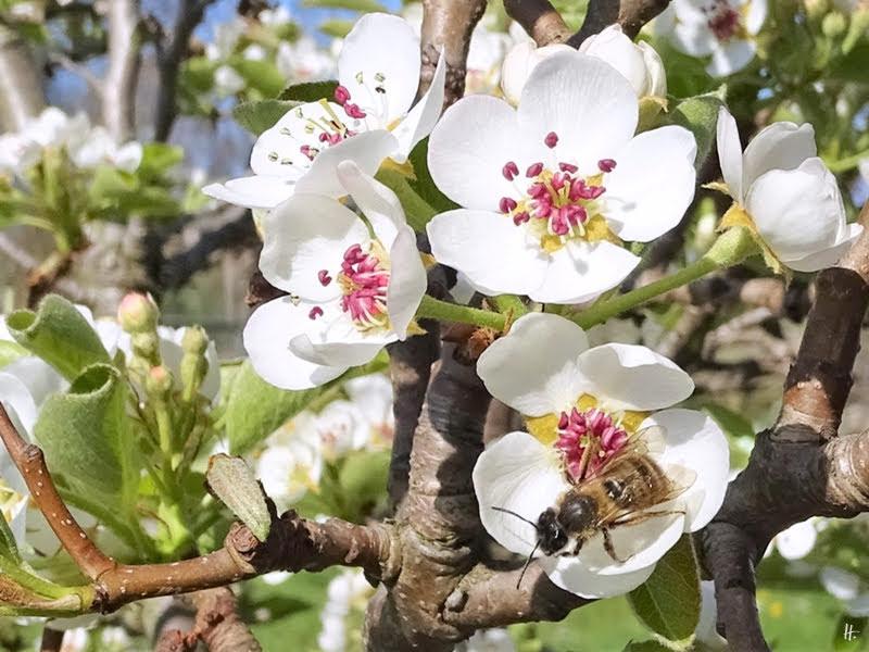 2019-04-15 LüchowSss Garten 10-11 Uhr (78) Wildbiene auf Birnenblüten