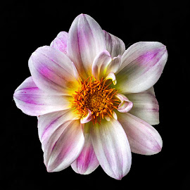 by Abdul Rehman - Flowers Single Flower (  )