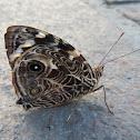 Blomfild's Beauty Butterfly