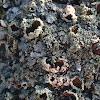 frolios lichen