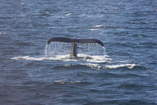 A whale tail spotted of the coast of  Avalon Peninsula, Newfoundland.