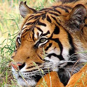Sumatran Tiger Resting by Phil Le Cren - Animals Lions, Tigers & Big Cats ( big cat, cat, tiger, sumatran tiger, animal, , zoowatch, zoo, animals )