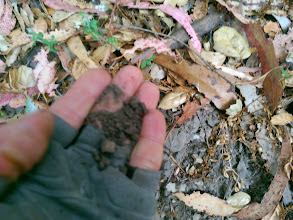 Photo: The soil is darker, likely because the native microbes are still alive in this soil, while that whole soil ecology is disrupted under eucalyptus.