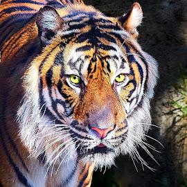 Big Cat 9902~Q by Raphael RaCcoon - Animals Lions, Tigers & Big Cats