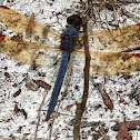 Purple Skimmer