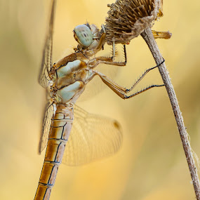 by Massimiliano Giuliani - Animals Insects & Spiders