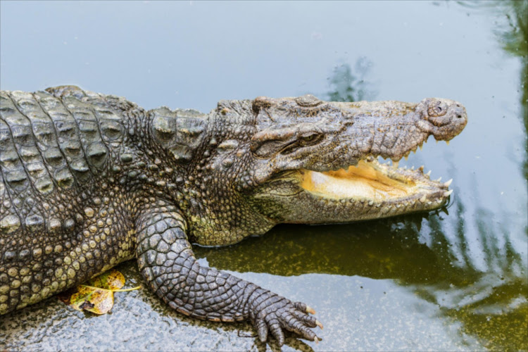 Crocodile. File photo.