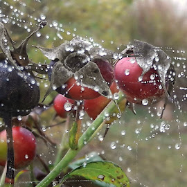 by Megi Šajn - Nature Up Close Other Natural Objects ( red, dew drops, nature, up close, natural light )