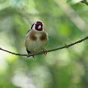 Jilguero (Goldfinch)