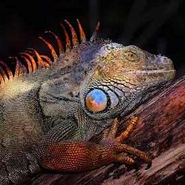 Sous le soleil by Gérard CHATENET - Animals Reptiles