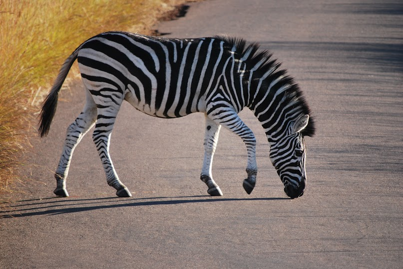 "Ivory Tree Game Lodge, Pilanesberg National Park, Johannesburg, South Africa, Wild Life gaming, zebra"" class="
