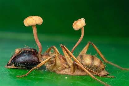 Гриб на муравье