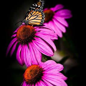 Echinacea purpurea by Dan Allard - Nature Up Close Flowers - 2011-2013 ( echinacea, butterfly, purple, monarch, purpurea, bloom, flower, blossom, pwcflowergarden-dq,  )