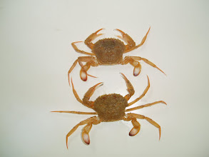 Photo: Cangrejo, falsa necora, (Liocarcinus depurator)