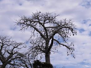 Photo: Baobab tree- the 'tree of life' in savannah regions of Africa