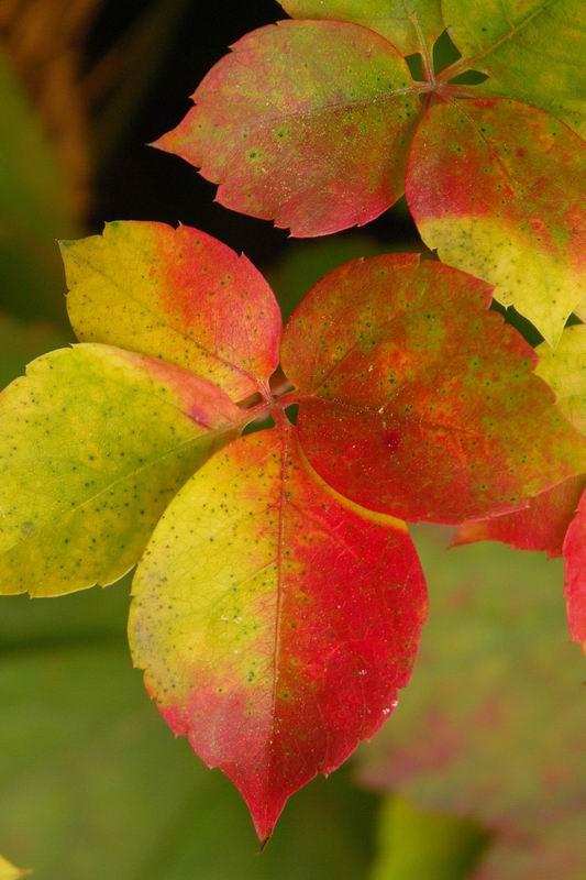 Foglie d'autunno di lavera