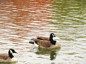 Photo: Geese swimming on an autumn pond at Eastwood Park in Dayton Ohio.