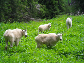 Photo: Mountain Goats at the Sol Duc Campground