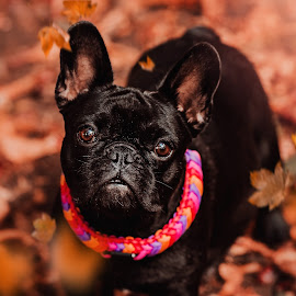 that look by Krisztina Ajtai - Animals - Dogs Portraits ( leaves, puppy, french bulldog, autumn, dog, cute, adorable,  )