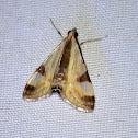 Fig Tree Moth