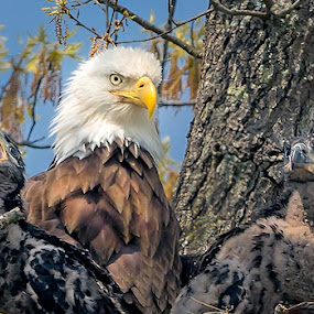 Male Eagle with Offspring by Don Holland - Animals Birds