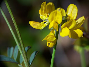 Photo: Hippocrepis sp